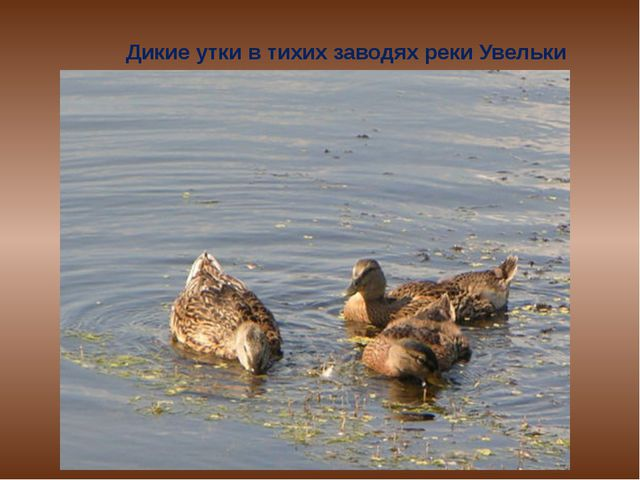 Дикие утки в тихих заводях реки Увельки