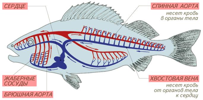 http://900igr.net/datai/biologija/Vnutrennee-stroenie-presmykajuschikhsja/0022-038-Krovenosnaja-sistema-ryby-i-ljagushki.png