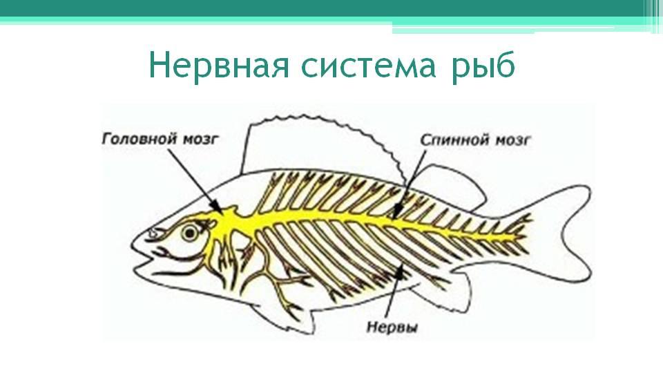 http://onlinebiology.ru/wp-kontt/uploads/2014/05/Nervnaya-sistema-ryb.jpg