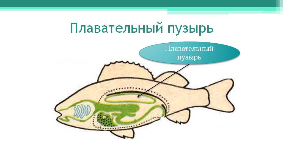 http://onlinebiology.ru/wp-kontt/uploads/2014/05/Ryby-plavatelnyj-puzyr.jpg