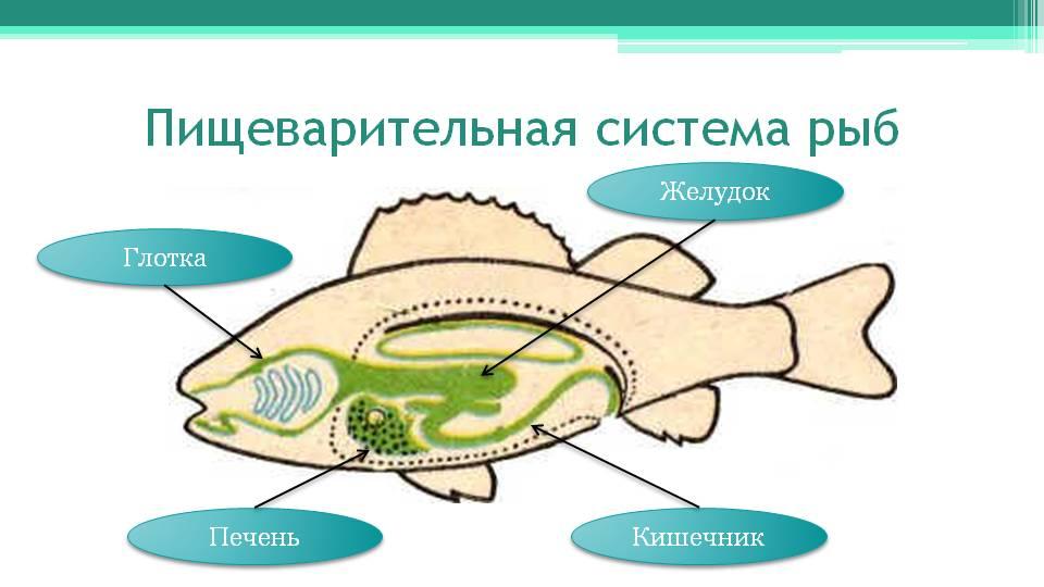 http://onlinebiology.ru/wp-kontt/uploads/2014/05/Ryby-pishhevaritelnaya-sistema.jpg