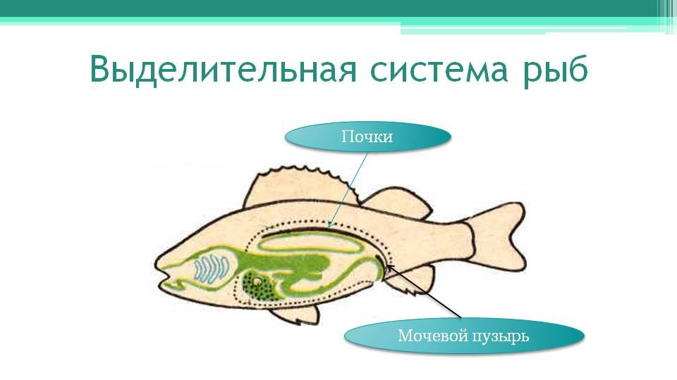http://onlinebiology.ru/wp-kontt/uploads/2014/05/Ryby-vydelitelnaya-sistema.jpg