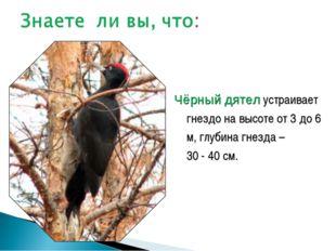 Чёрный дятел устраивает гнездо на высоте от 3 до 6 м, глубина гнезда – 30 - 4