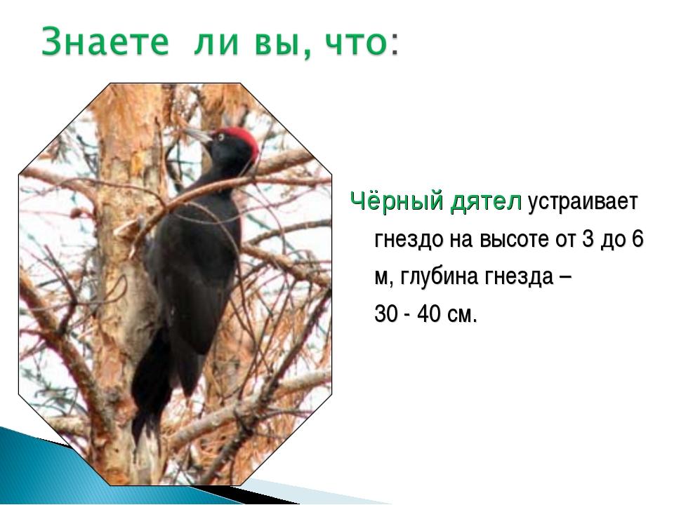 Чёрный дятел устраивает гнездо на высоте от 3 до 6 м, глубина гнезда – 30 - 4...