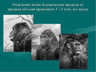 Отделение ветви человеческих предков от предков обезьян произошло 3 – 5 млн.
