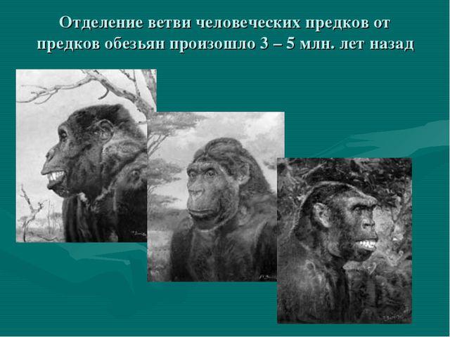 Отделение ветви человеческих предков от предков обезьян произошло 3 – 5 млн....