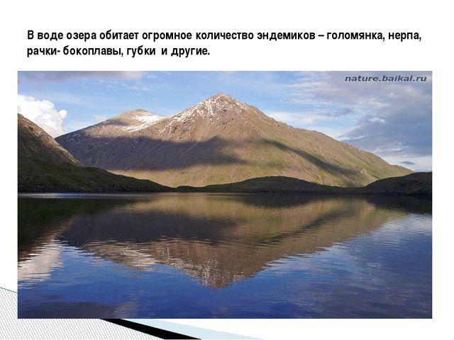 В воде озера обитает огромное количество эндемиков – голомянка, нерпа, рачки...