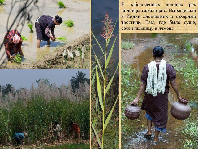 В заболоченных долинах рек индийцы сажали рис. Выращивали в Индии хлопчатник...