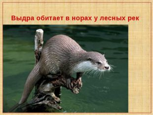 Выдра обитает в норах у лесных рек
