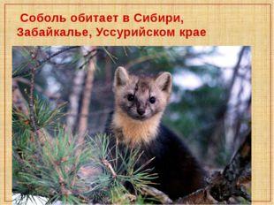 Соболь обитает в Сибири, Забайкалье, Уссурийском крае