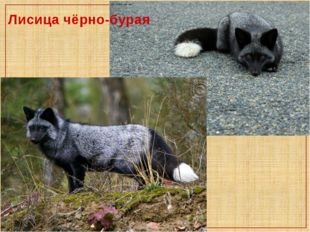 Лисица чёрно-бурая