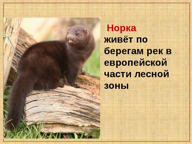 Норка живёт по берегам рек в европейской части лесной зоны