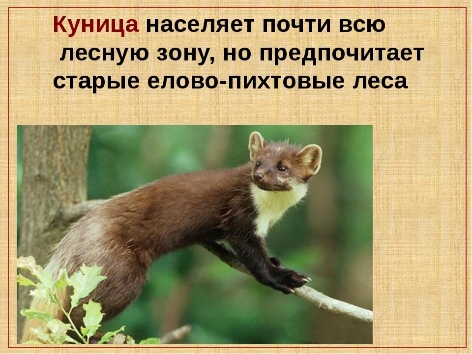 Куница населяет почти всю лесную зону, но предпочитает старые елово-пихтовые...