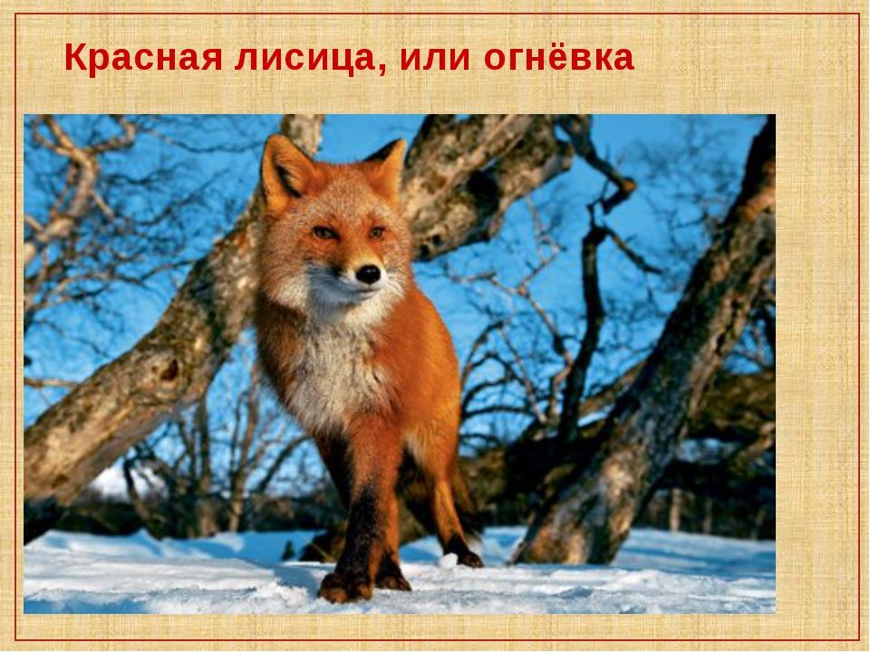 Красная лисица, или огнёвка