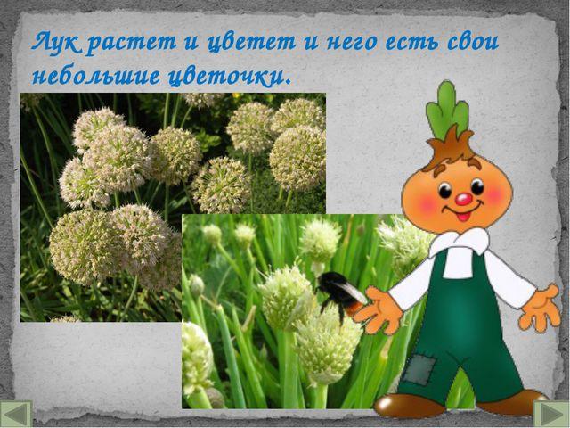 Лук растет и цветет и него есть свои небольшие цветочки.