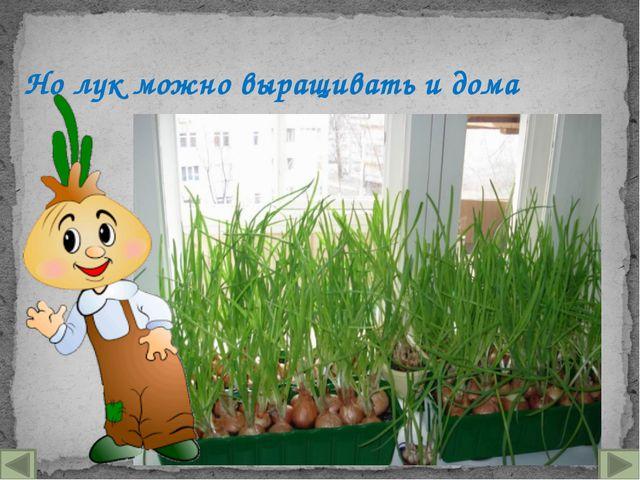 Но лук можно выращивать и дома
