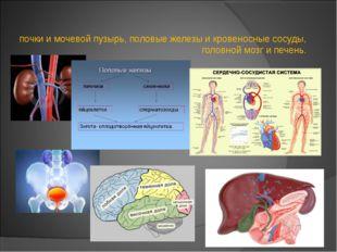 почки и мочевой пузырь, половые железы и кровеносные сосуды, головной мозг и