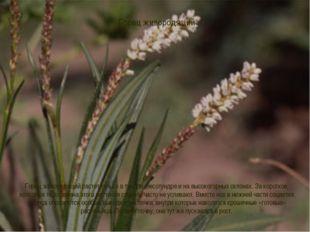 Горец живородящий Горец живородящий растет только в тундре, лесотундре и на в