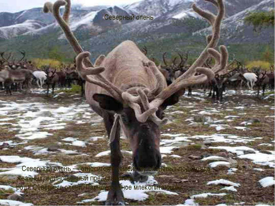 Северный олень Северныйолень— относится к семейству оленевых подотряда жва...