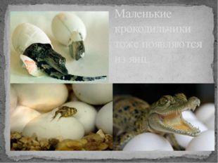 Маленькие крокодильчики тоже появляются из яиц.