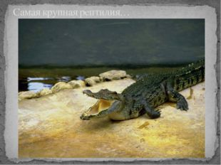 Самая крупная рептилия…