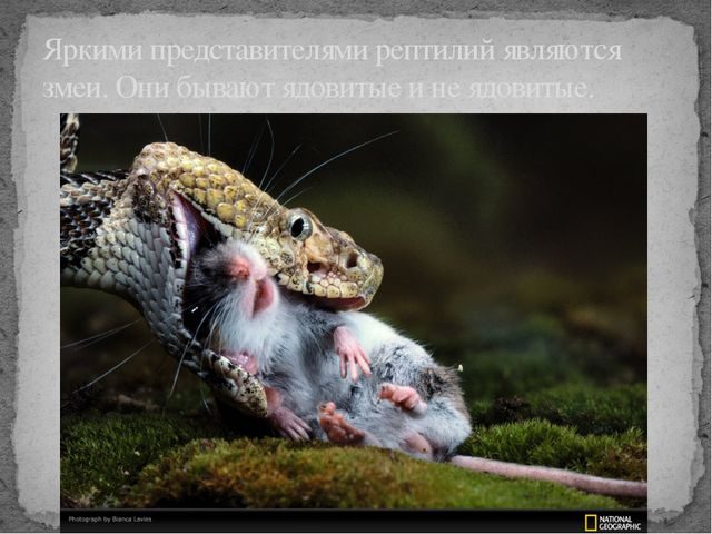 Яркими представителями рептилий являются змеи. Они бывают ядовитые и не ядов...