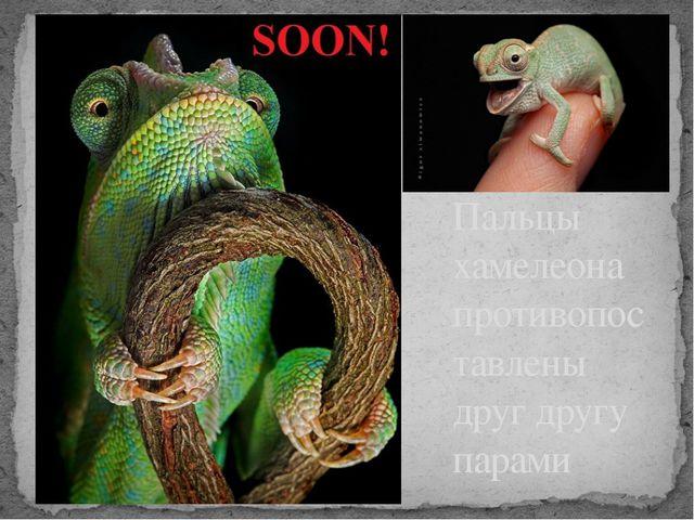 Пальцы хамелеона противопоставлены друг другу парами