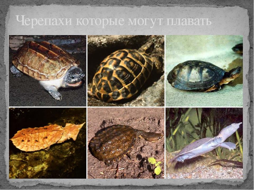 Черепахи которые могут плавать