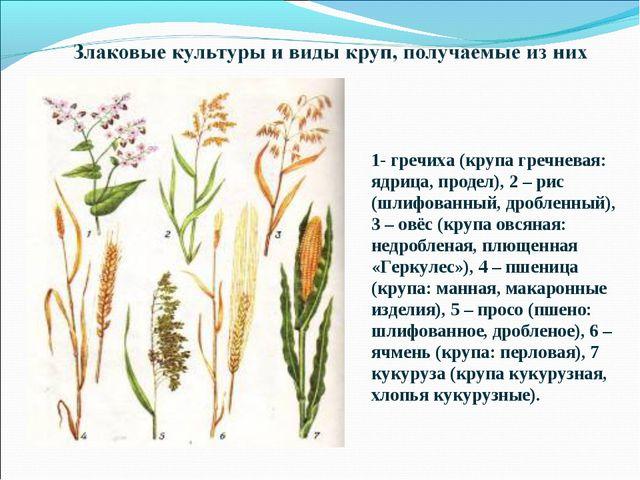 1- гречиха (крупа гречневая: ядрица, продел), 2 – рис (шлифованный, дробленны...