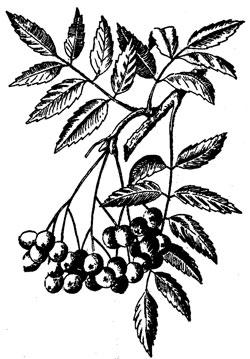 http://www.leksvoy.co.ua/trees/ryabina.jpg