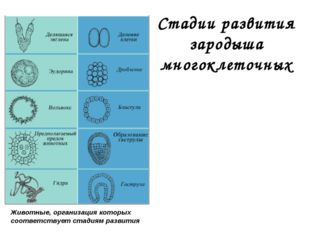 Стадии развития зародыша многоклеточных Животные, организация которых соответ
