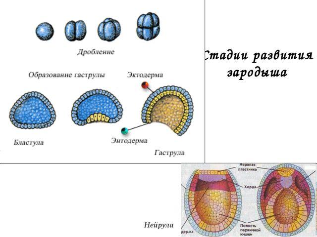 Стадии развития зародыша Нейрула