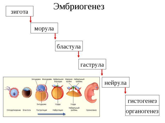 Эмбриогенез зигота бластула гаструла нейрула гистогенез органогенез морула