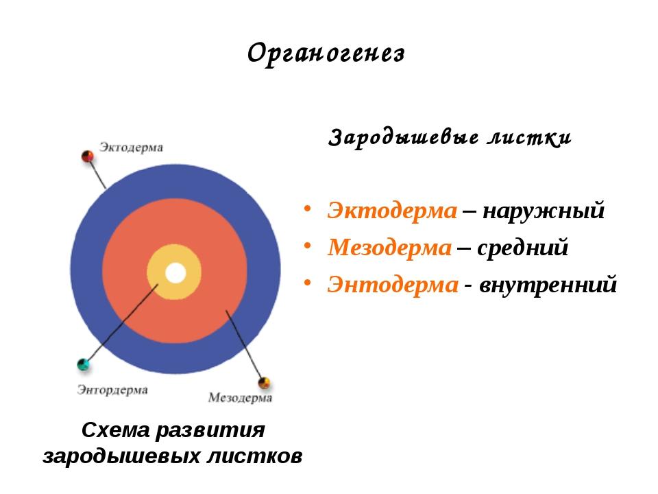Органогенез Зародышевые листки Эктодерма – наружный Мезодерма – средний Энтод...
