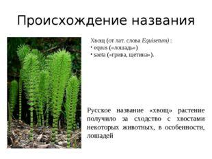 Происхождение названия Русское название «хвощ» растение получило за сходство