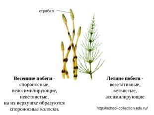 Летние побеги - вегетативные, ветвистые, ассимилирующие Весенние побеги - спо