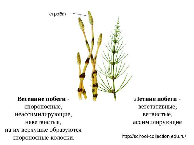 Летние побеги - вегетативные, ветвистые, ассимилирующие Весенние побеги - спо...