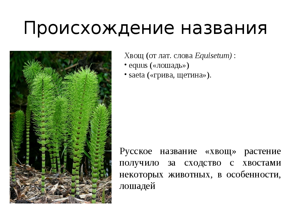 Происхождение названия Русское название «хвощ» растение получило за сходство...