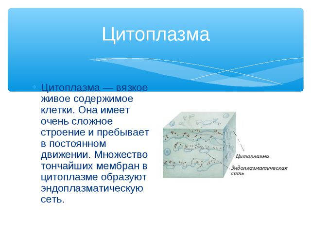 Цитоплазма Цитоплазма — вязкое живое содержимое клетки. Она имеет очень сложн...
