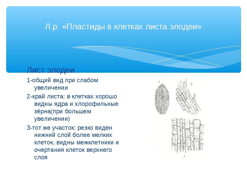 Л.р. «Пластиды в клетках листа элодеи» Лист элодеи 1-общий вид при слабом уве...