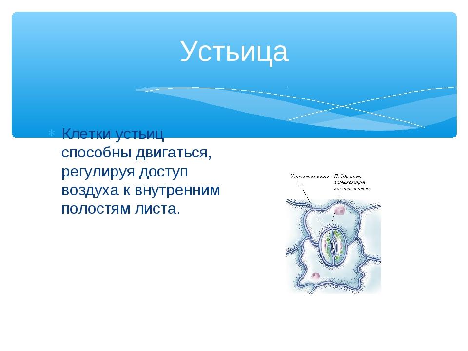 Устьица Клетки устьиц способны двигаться, регулируя доступ воздуха к внутренн...