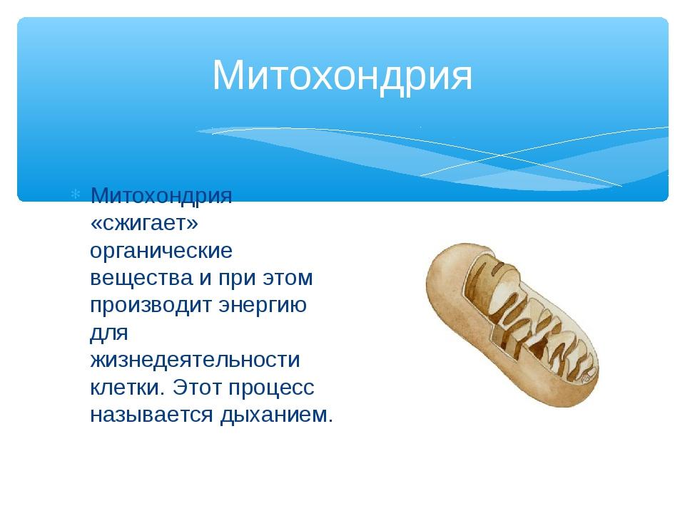 Митохондрия Митохондрия «сжигает» органические вещества и при этом производит...