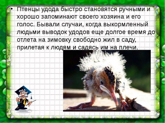 Птенцы удода быстро становятся ручными и хорошо запоминают своего хозяина и е...