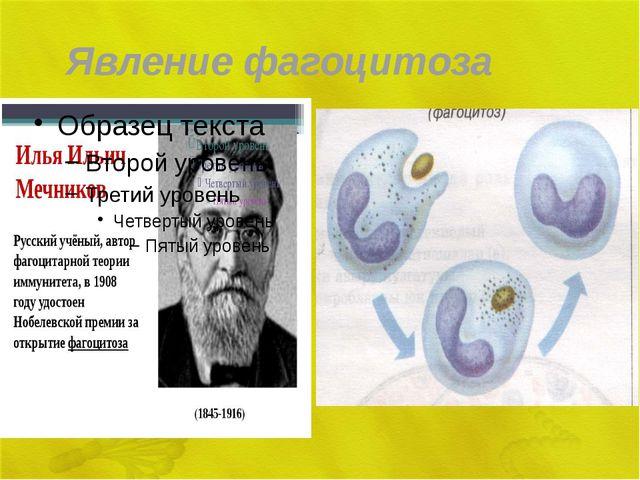 Явление фагоцитоза