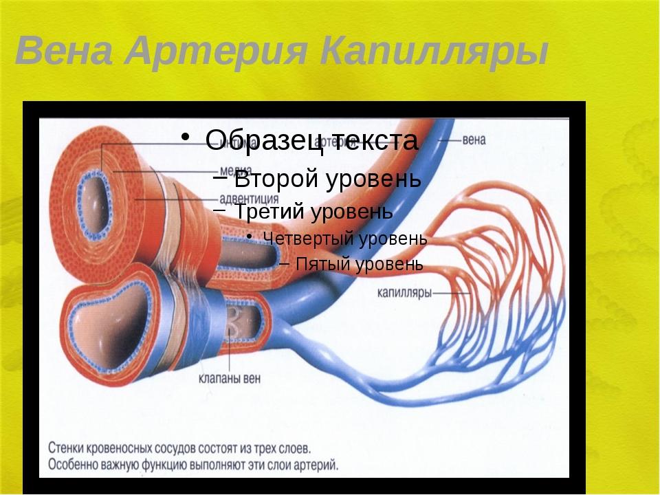 Вена Артерия Капилляры