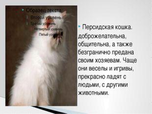 Персидская кошка. доброжелательна, общительна, а также безгранично предана св