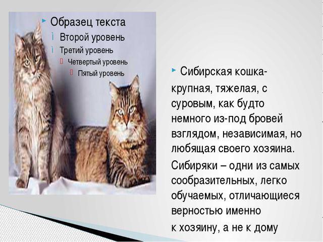 Сибирская кошка- крупная, тяжелая, с суровым, как будто немного из-под бровей...
