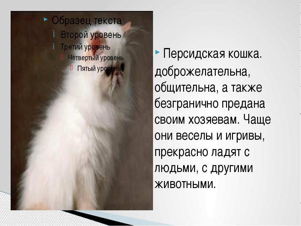 Персидская кошка. доброжелательна, общительна, а также безгранично предана св...