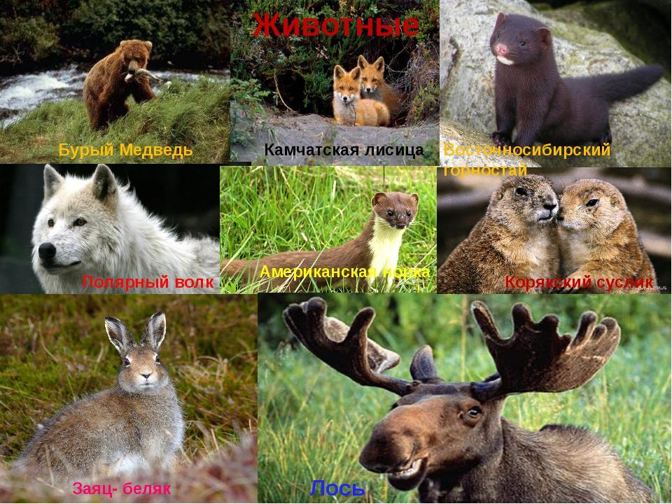 Животные Бурый Медведь Камчатская лисица Полярный волк Восточносибирский горн...