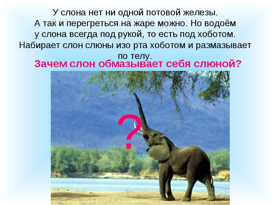 У слона нет ни одной потовой железы. А так и перегреться на жаре можно. Но во...
